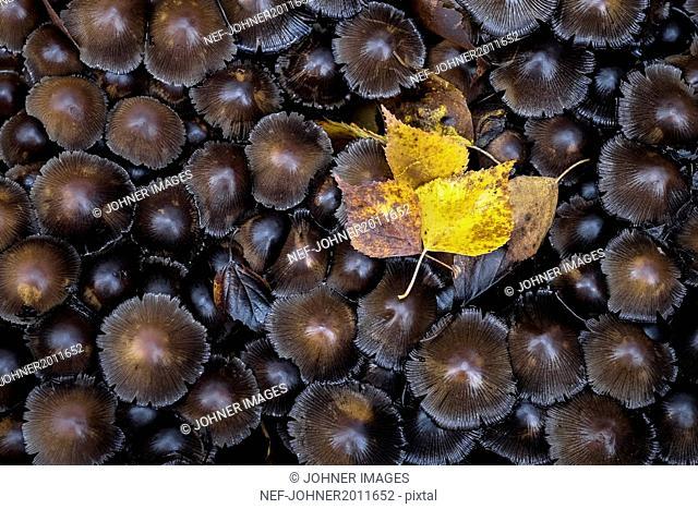 Yellow leaf on brown mushrooms