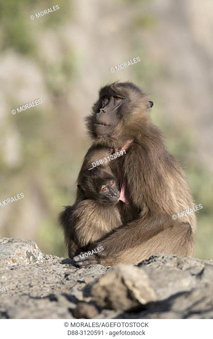 Africa, Ethiopia, Rift Valley, Debre Libanos, Gelada or Gelada baboon (Theropithecus gelada), adult female with a young,