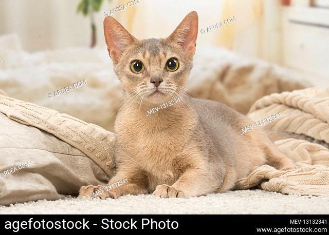 Abyssinian kitten indoors
