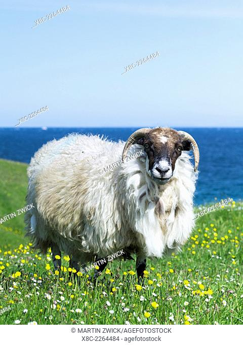 Sheep (Scottish Blackface) on the Isle of Harris, home of the Harris Tweed, grazing in Machair.Machair, gaelic for a fertile, often sandy