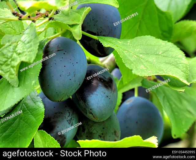 the plums and green leaves