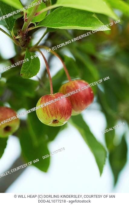 Fruit On Bonsai Crab Apple Tree Stock Photo Picture And Rights Managed Image Pic Dod Al1077218 Agefotostock