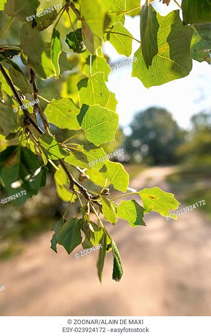 Backlit Poplar Leaves