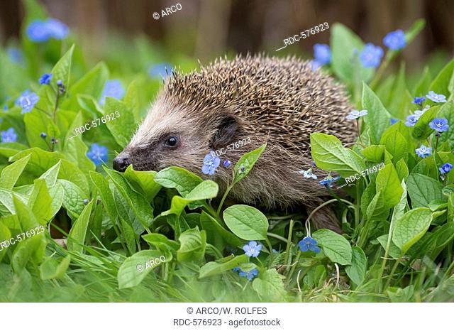 European hedgehog, Lower Saxony, Germany / (Erinaceus europaeus)