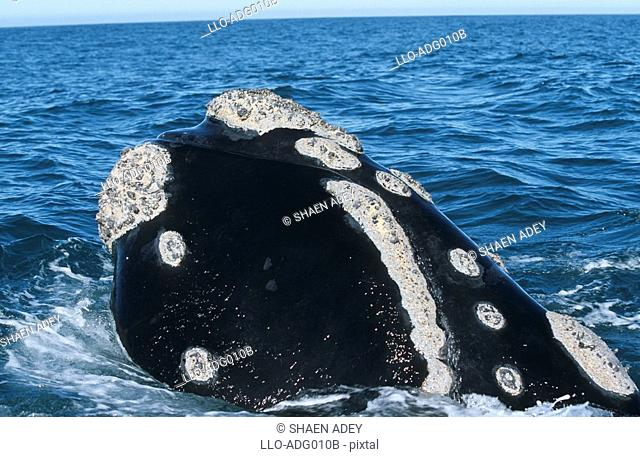 Southern Right Whale Eubaleana Australis Spy Hopping in the Ocean  Hermanus, Western Cape Province, South Africa