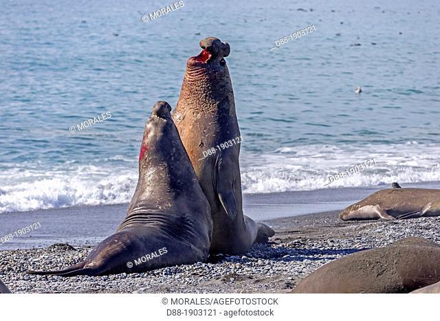 United Kingdom, South Georgia Islands, Salysbury plains, Southern Elephant Seal Mirounga leonina, males fighting on the beach