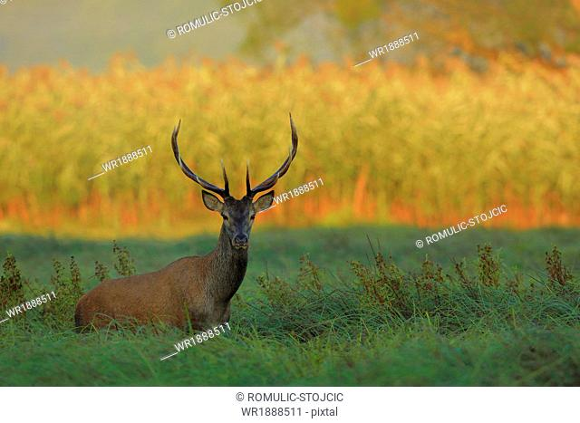 Stag On Field