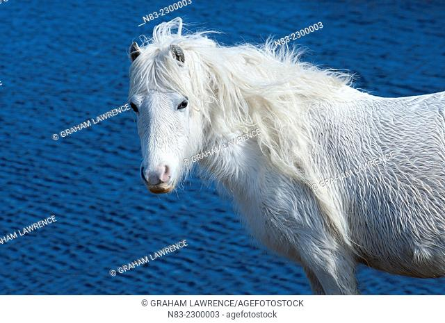 A Welsh pony is seen by a lake on the Mynydd Epynt moorland, Powys, Wales, UK