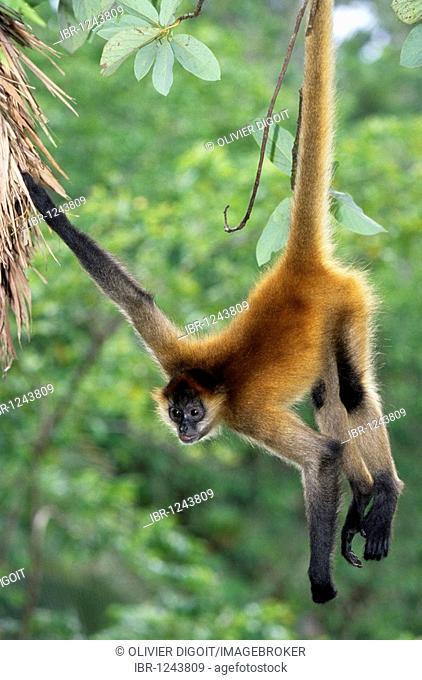 Black-handed spider monkey (Ateles geoffroyi), Nicaragua
