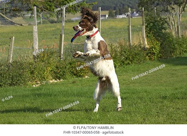 Domestic Dog, English Springer Spaniel, jumping on lawn, catching throw toy, England