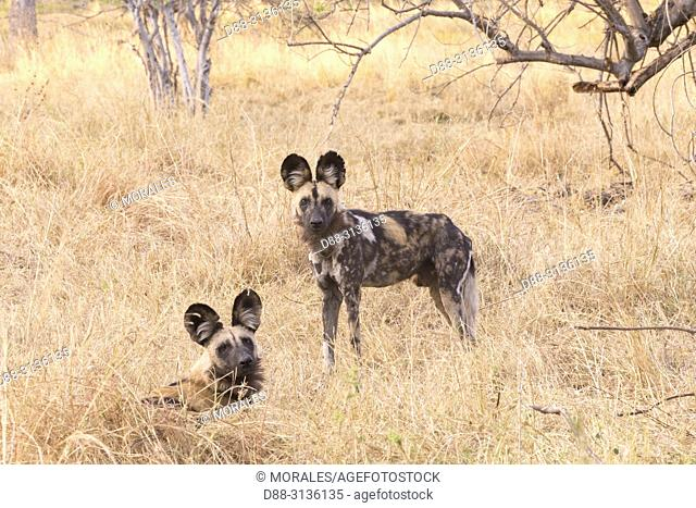 Africa, Southern Africa, Bostwana, Moremi National Park, African wild dog or African hunting dog or African painted dog (Lycaon pictus), adults