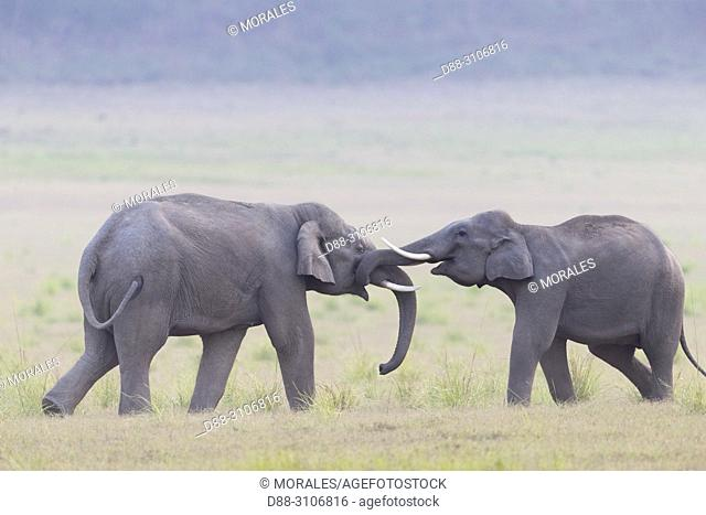 Asia, India, Uttarakhand, Jim Corbett National Park, Asian or Asiatic elephant (Elephas maximus), confrontation between young animals