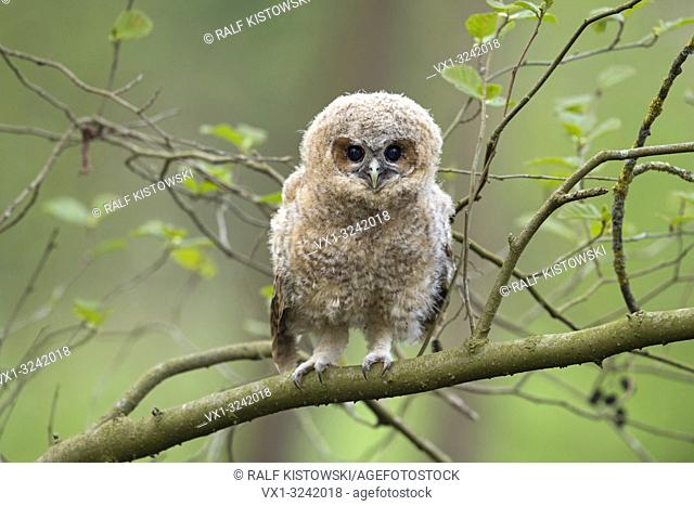 Cute fledgling of Tawny Owl (Strix aluco) perched between green leaves, begging for food, its dark brown eyes wide open. .