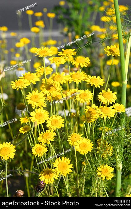 Leopards bane Doronicum pardalianches yellow flower, Sartrouville, Yvelines, France