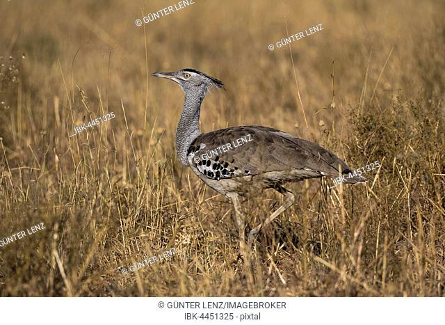 Kori bustard (Ardeotis kori) in dry grass, largest flying bird native to Africa, Chobe National Park, Botswana