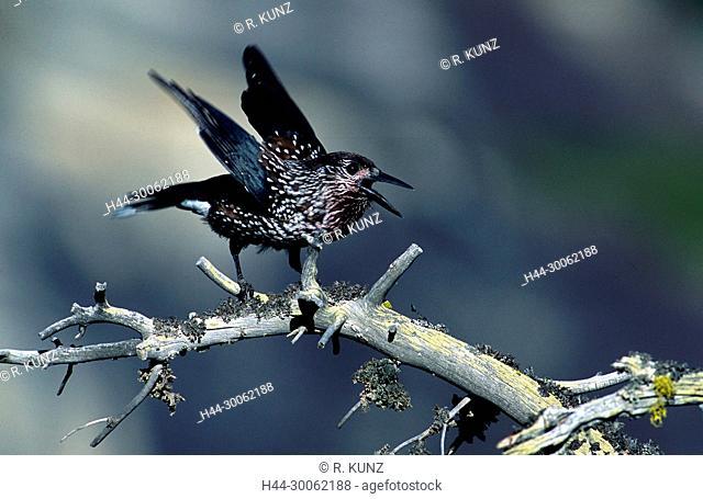 Spotted Nutcracker, Nucifraga caryocatactes, Corvidae, bird, animal, Zervreila, Canton of Graubünden, Switzerland