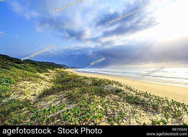 Costal view showing Inkberry, Beachberry, Gullfeed, Half Flower or Waxy Bush (Scaevola plumieri). Thonga Beach Lodge. Mabibi. Maputaland