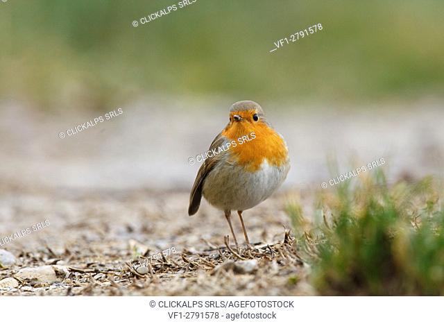 Sebino Natural Reserve, Lombardy, Italy. Robin