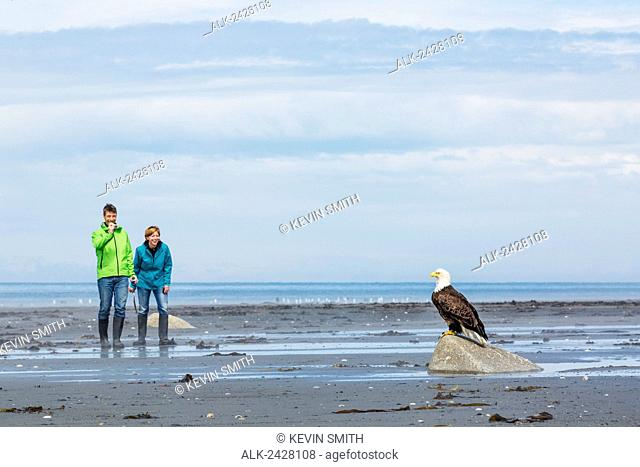 Adult couple photograph a Bald Eagle perched on a rock, Bishop's Beach, Anchor Point, Southcentral Alaska, USA