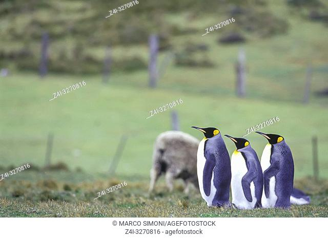King Penguins (Aptenodytes patagonicus). queuing up, East Falkland, Falkland Islands, South America