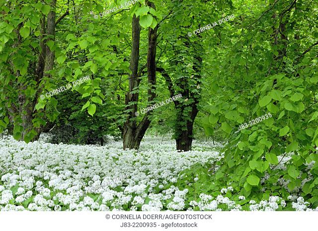 Lime trees and a carpet with blooming Ramsons (Wild garlic), (Allium ursinum) in spring at castle Park Putbus, Insel Rügen, Isle of Ruegen