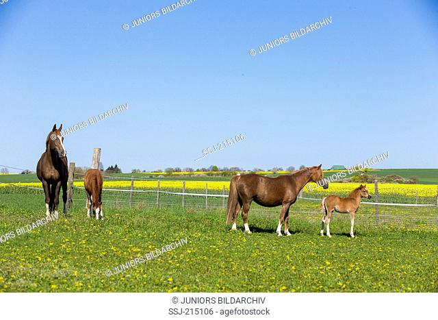 Bavarian Warmblood and Welsh B. Mares with foals standing on a pasture. Bavaria, Germany