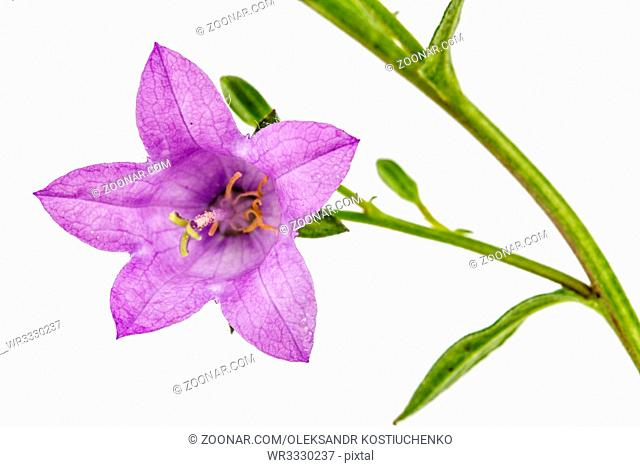 Violet flower of Campanula, isolated on white background