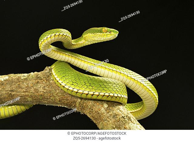 Viperidae, Red tailed pit viper, Trimeresurus erythrurus, Garjee, Tripura
