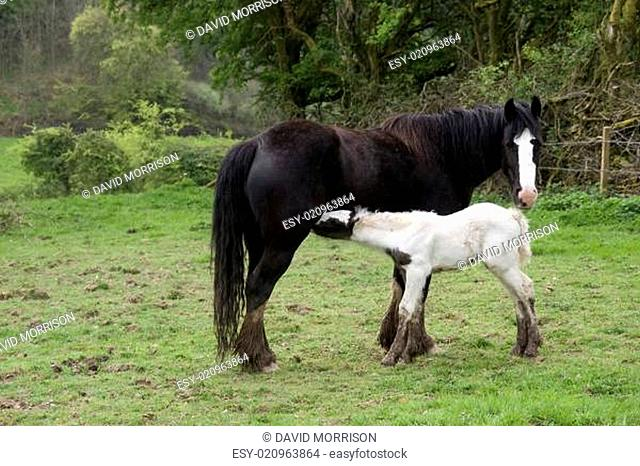 young foal feeding from its mother