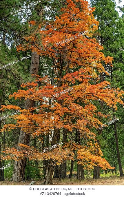 Fall Colors of Sugar Maple in Yosemite National Park CA USA World Location