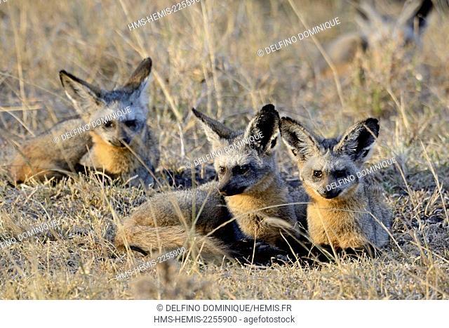 Kenya, Masai Mara Reserve, Otocyon (Otocyon megalotis) family in Savannah