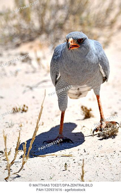 A Gabarhabicht (Melierax gabar) walks around Etosha National Park on the ground, taken on 24.02.2019. The Gabarhabicht is a monotypic species of the...