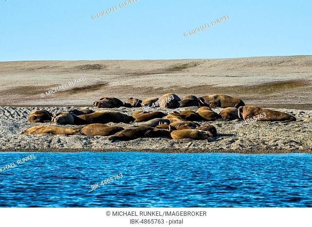 Walruses (Odobenus rosmarus), colony lies on gravel bank, Torellneset, Arctic, Svalbard