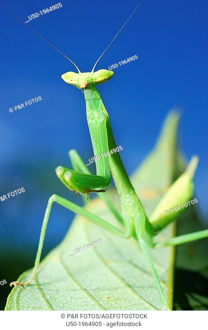 Green Mantid. Mantodea