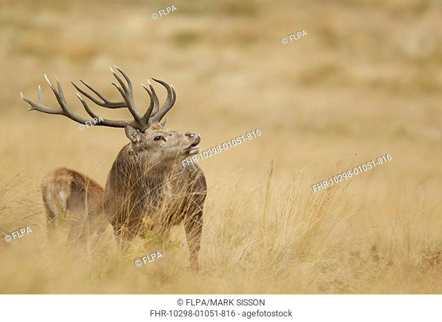 Red Deer (Cervus elaphus) mature stag, in flehmen, scenting nearby hind during rutting season, Bradgate Park, Leicestershire, England, October