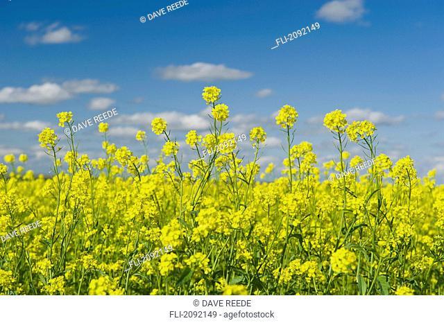 Blooming mustard field, ponteix saskatchewan canada