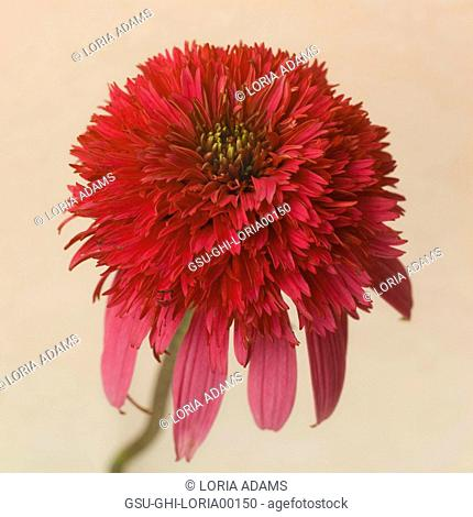Red Coneflower or Echinacea against Light Background