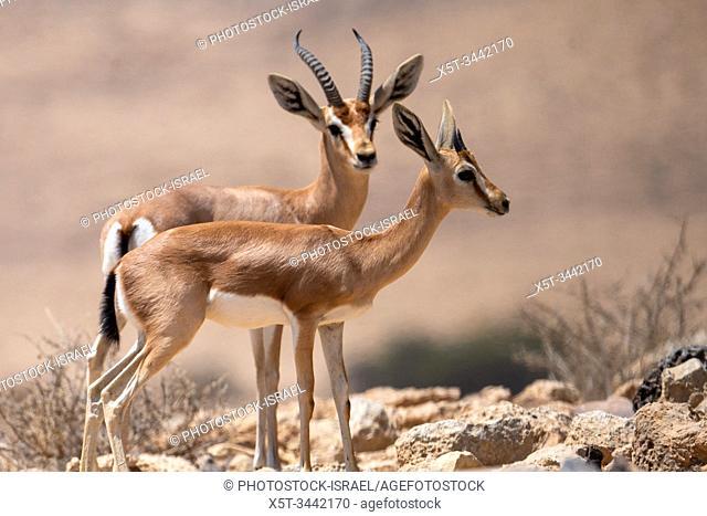 The dorcas gazelle (Gazella dorcas), also known as the ariel gazelle, is a small and common gazelle. The dorcas gazelle stands about 55â