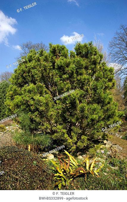 Mountain pine, Mugo pine (Pinus mugo), single tree