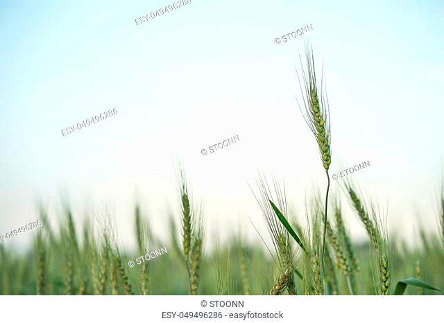 Barley grain hardy cereal that has coarse bristles extending from the ears chiefly for use in brewing and for flour