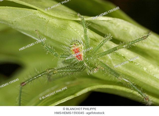 France, Araneae, Thomisidae, Crab spider (Heriaeus hirtus), male
