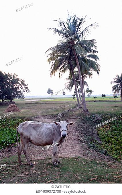 Landscape with cows grazing in the rice fields in Sundarban, West Bengal, India