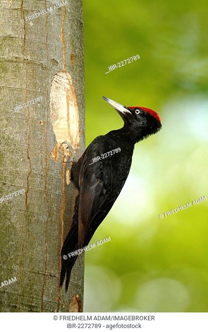 Black woodpecker (Dryocopus martius), male sitting at the entrance of its nesting hole, Neunkirchen, Siegerland, North Rhine-Westphalia, Germany, Europe