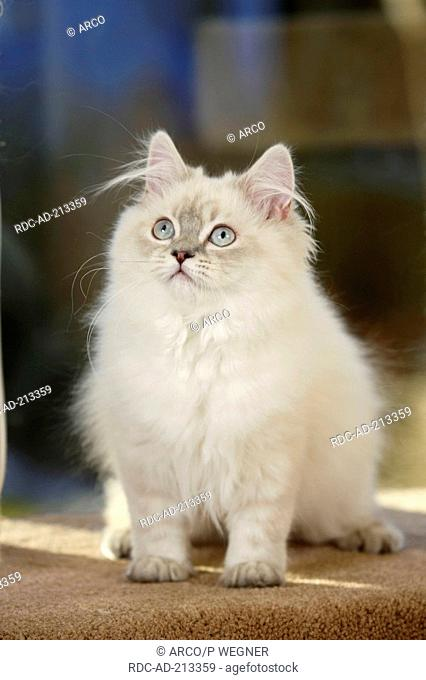 British Longhair Cat, 5 month, blue-silver-tabby-point, Highlander, Lowlander, Britanica