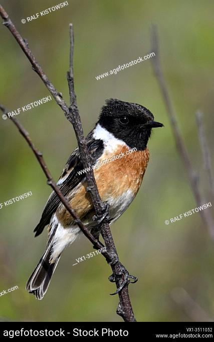 European Stonechat / Schwarzkehlchen ( Saxicola torquata ), male, breeding dress, sitting, perched in a bush, watching, typical environment, wildlife, Europe