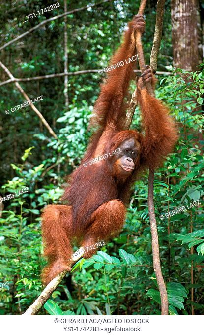 Orang Utan, pongo pygmaeus, Female hanging from Branch, Borneo