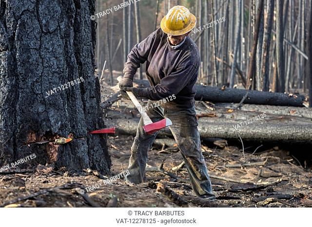 A contractor working for Crook Logging (a company based in Groveland, California) falls a tree damaged during the Rim Fire in the Stanislaus National Forest...