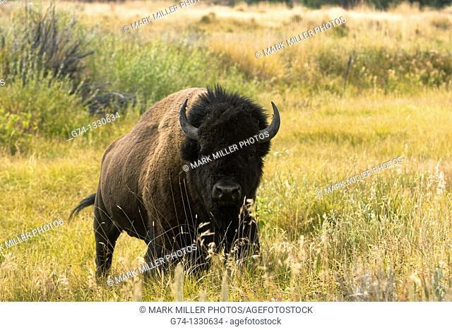 Feisty Bull Bison