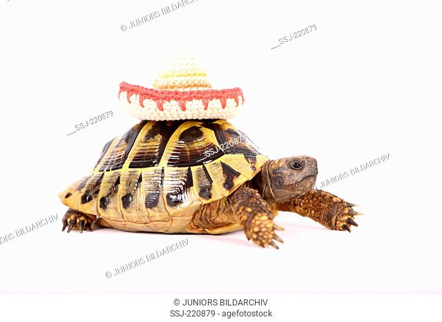 Hermanns Tortoise (Testudo hermanni). Adult wearing a sombrero on its carapace, seen side-on. Studio picture against a white background. Germany