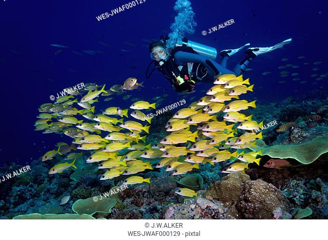 Oceania, Palau, Diver watching schoal of bluestripe snappers